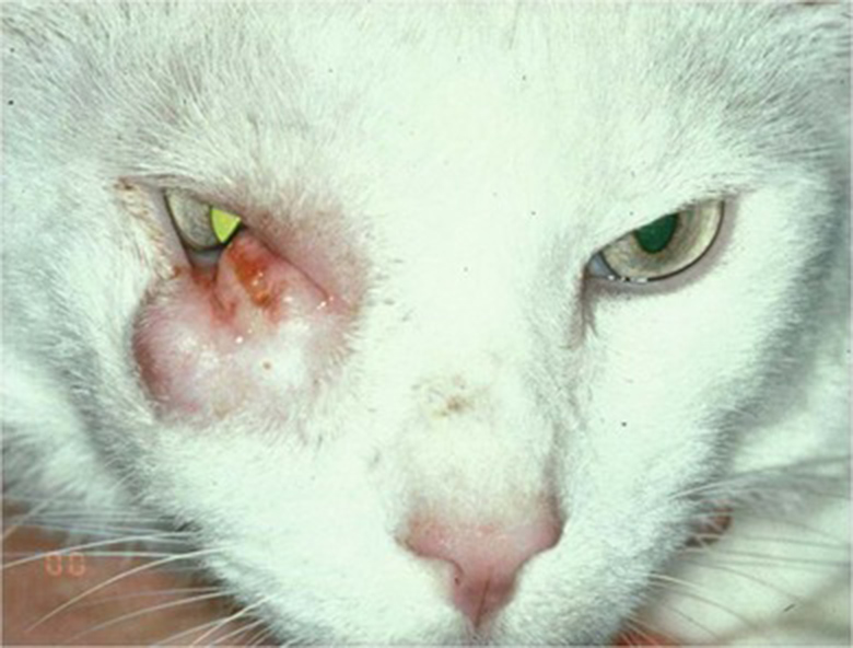 Abnormal Eyelid in Cats