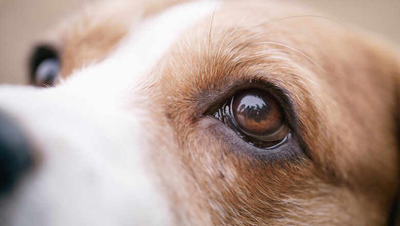 Abnormal Eyelid in Dogs