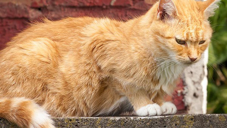 Abnormal Growths in the Small Intestines of Cats