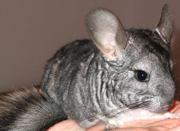 Abscesses in Chinchillas