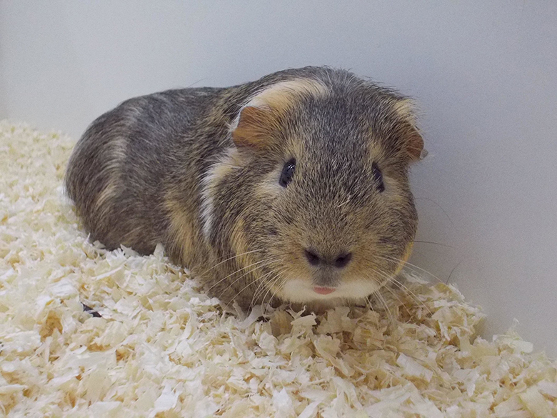 Antibiotic Toxicity in Guinea Pigs