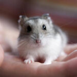 Arenavirus Infection in Hamsters